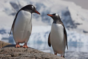 Two Gentoo penguins (Pygoscelis papua) on rock, Neko Harbour, Andvord Bay, Antarctic