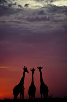 Giraffe (Giraffa camelopardalis) three standing together, silhouetted at dusk, Okavango