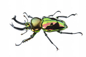 Golden green stag beetle (Lamprima sp.), adult male with big mandibles and a shiny