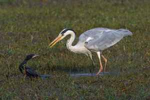 Grey heron (Ardea cinerea) squabbling with Little cormorant (Microcarbo / Phalacrocorax