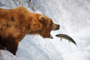 Grizzly bear (Ursus arctos horribilis) catching salmon in Brooks river, Katmai National