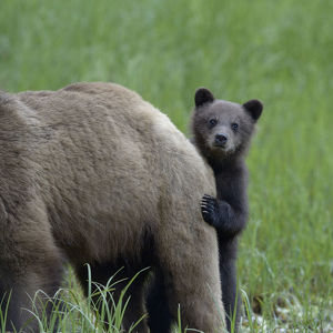 Grizzly bear (Ursus arctos horribilis) cub peering out from behind its mother