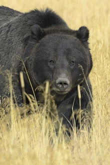 Grizzly bear (Ursus arctos horribilis) in long grass, Yellowstone NP, Wyoming, USA