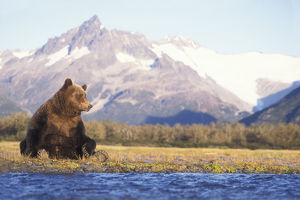 Grizzly bear (Ursus arctos horribils) sow sits in riverbed with a mountain range