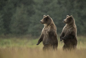 Grizzly Bears (Ursus arctos) standing in heavy rain, Lake Clarke National Park, Alaska