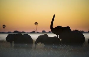 Group of African elephants (Loxodonta africana) silhouetted at sunrise, Okavango Delta