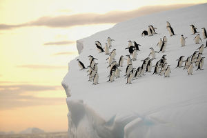 A group of chinstrap penguins (Pygoscelis antarctica) on the edge of an iceberg off