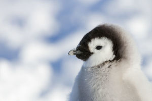 Head portrait of Emperor penguin chick (Aptenodytes forsteri) sitting in the snow