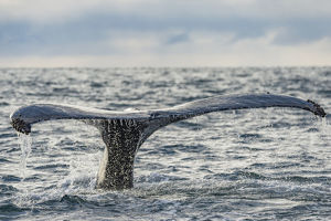 Humpback whale (Megaptera novaeangliae) tail fluke above water, Bay of Fundy, New