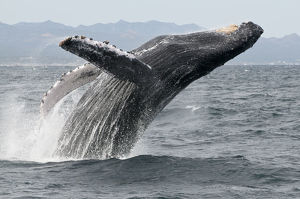 Humpback whale (Megaptera novaeangliae) breaching - leaping out of the water, Sea