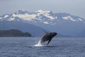 Humpback whale (Megaptera novaeangliae) breaching, Prince William Sound, Alaska, July