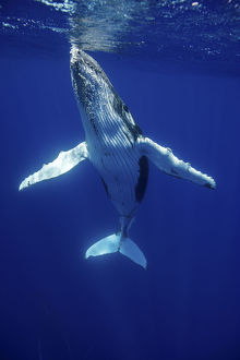 Humpback Whale (Megaptera novaeangliae) calf. Tonga, South Pacific, September