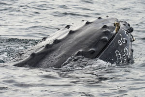 Humpback whale (Megaptera novaeangliae) surfacing, rostrum above surface, Bay of Fundy