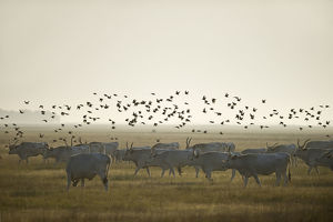 Hungarian grey cattle (Bos primigenius taurus hungaricus) with European starlings