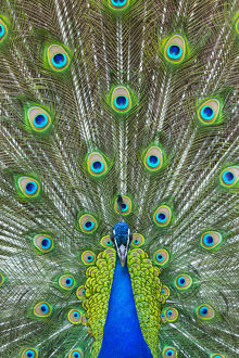 Indian peafowl (Pavo cristatus) peacock displaying feathers, captive, occurs in South