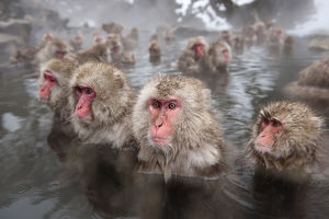 japanese macaques macaca fuscata hot springs