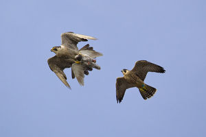 Juvenile male Peregrine falcon (Falco peregrinus) in flight chasing his parent who