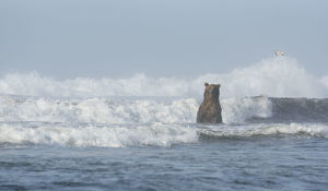 A Kamchatka Brown Bear (Ursus arctos beringianus) standing in breaking waves