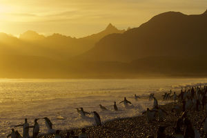 King Penguins (Aptenodytes patagonicus) on beach at sunrise, South Georgia Island, March