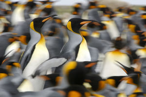 King penguins (Aptenodytes patagonicus) colony, Antarctica
