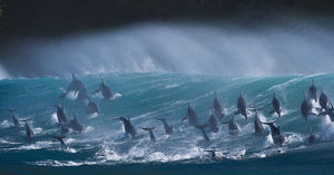 Large pod of Bottlenose dolphins (Tursiops truncatus) porpoising over waves during