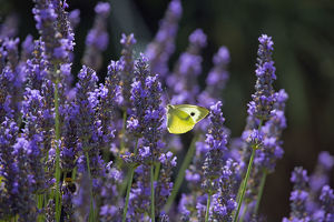 Large white butterfly (Pieris brassicae) feeding on lavender flowers in garden, England