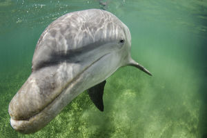 Lone male Bottlenose dolphin (Tursiops truncatus) in shallow water over seagrass