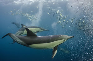 Long-beaked common dolphins (Delphinus capensis) feeding in Sardines, (Sardinops