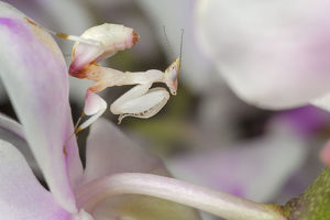 weird ugly creatures/malaysian orchid mantis nymph hymenopus coronatus