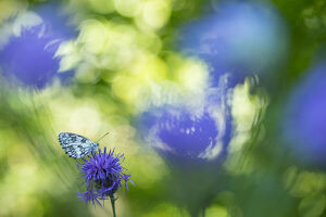 Marbled white butterfly (Melanargia galathea) on knapweed, with soft focus bokeh effect