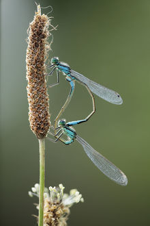 wild wonders europe/3/mating pair azure damselflies coenagrion puella
