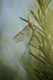 wild wonders europe/3/mayfly ephemera lineata lagadin region lake ohrid