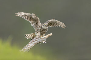 Merlin (Falco columbarius) female alighting onto perch, Glen Tanar, Cairngorms National
