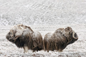 highlights 2015/musk ox ovibos moschatus covered snow wrangel