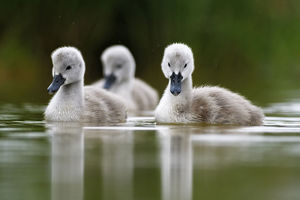 Mute swan (Cygnus olor) cygnets on water, Lac de Saint Point, Franche Comte, France, May