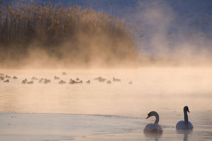 Mute swan (Cygnus olor) pair on misty lake, Amsterdamse Waterleidingduinen Nature Reserve
