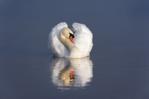 Mute swan (Cygnus olor) on water, England, December