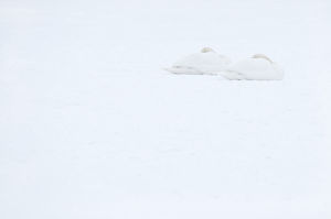 Two Mute swans (Cygnus olor) sleeping on snow, Hazerswoude, The Netherlands, February