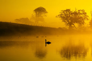 Mute swans (Cygnus olor) on water at sunrise on foggy morning, Norfolk, England, UK