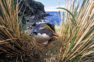 Northern Rockhopper Penguin (Eudyptes moseleyi) on nest, Gough Island, Gough
