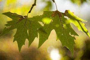 Oriental plane tree (Platanus orientalis) leaves, Meteora, Greece, October 2008