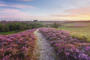 Path through heather flowering on lowland heathland, Rockford Common, Linwood, New