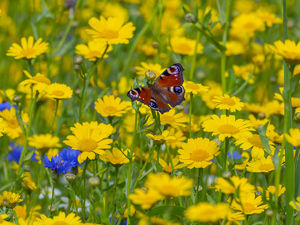 Peacock butterflies (Inachis io) feeding on corn marigolds (Glebionis segetum)