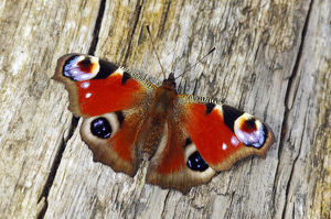 Peacock butterfly (Inachis io) basking on fallen tree, Southwest London, England