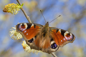 Peacock butterfly (Inachis io) feeding on Goat Willow catkins (Salix caprea), an