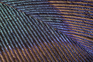 Peacock (Pavo cristatus feather close up showing iridescence at 10x magnification