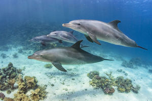 Pod of Indian Ocean bottlenose dolphin (Tursiops adunctus) swim over a coral reef