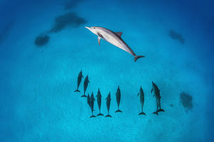 Pod of Spinner dolphins (Stenella longirostris) swimming over shallow sandy lagoon