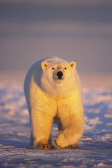 Polar bear (Ursus maritimus) adult walking over newly formed pack ice during fall