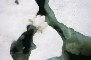 Polar bear (Ursus maritimus) aerial view of sow with cub along the Arctic coast in summer